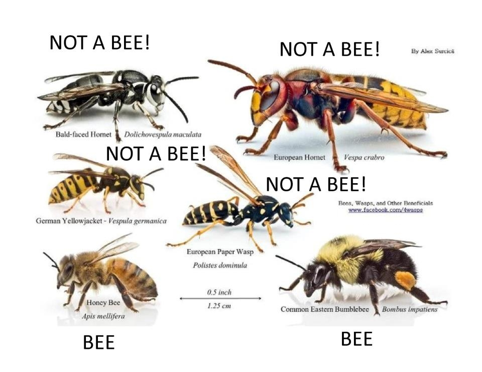 Bee-or-Not-a-Bee.jpg